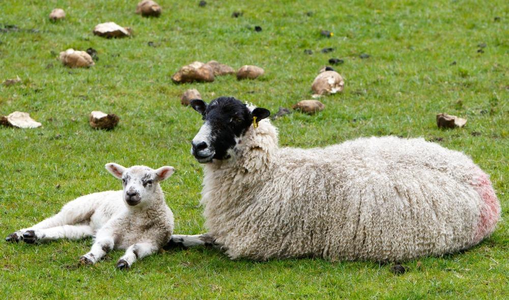 sheep-1353251_1920